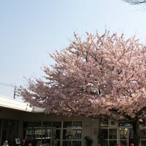 ダウン症児の成長日記 桜