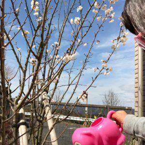 ダウン症児の成長日記 さくらんぼの花