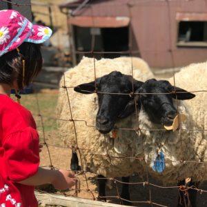 ダウン症児の成長日記 羊エサやり体験